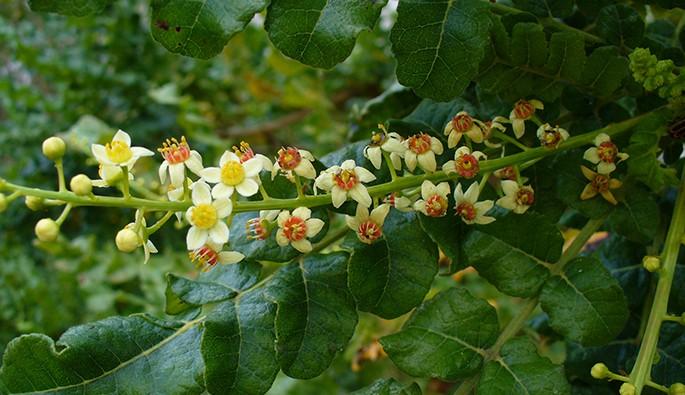 101 Çeşit Şifalı Bitki Ve Baharat Hodan (Borago Officinalis)