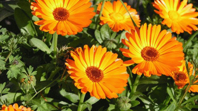 101 Çeşit Şifalı Bitki Ve Baharat Aynısefa (Calendula)