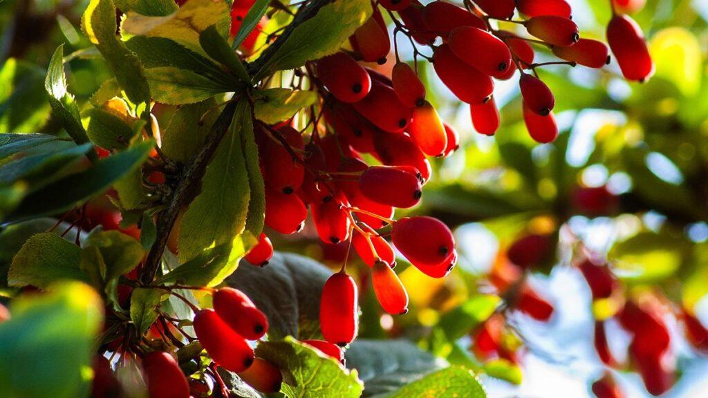 101 Çeşit Şifalı Bitki Ve Baharat Berberin