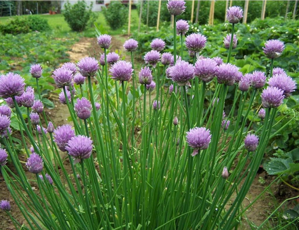 101 Çeşit Şifalı Bitki Ve Baharat Frenk Soğanı (Allium Schoenoprasum)