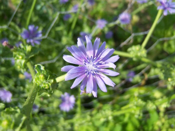 101 Çeşit Şifalı Bitki Ve Baharat Hindiba Kökü (Cichorium Endivia)