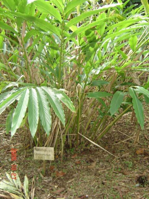 101 Çeşit Şifalı Bitki Ve Baharat Kakule (Elettaria Cardamomum)