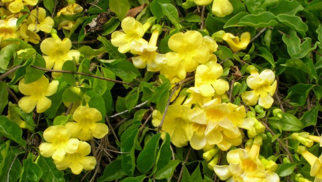 101 Çeşit Şifalı Bitki Ve Baharat Kedi Pençesi (Uncaria Tomentosa)