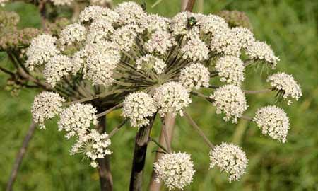 101 Çeşit Şifalı Bitki Ve Baharat Kimyon Tohumu (Cuminum Cyminum)
