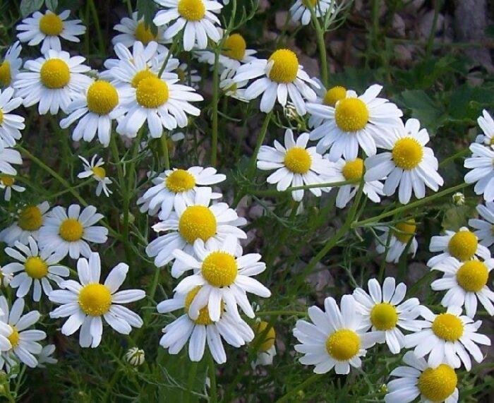 101 Çeşit Şifalı Bitki Ve Baharat Papatya (Matricaria Chamomilla)
