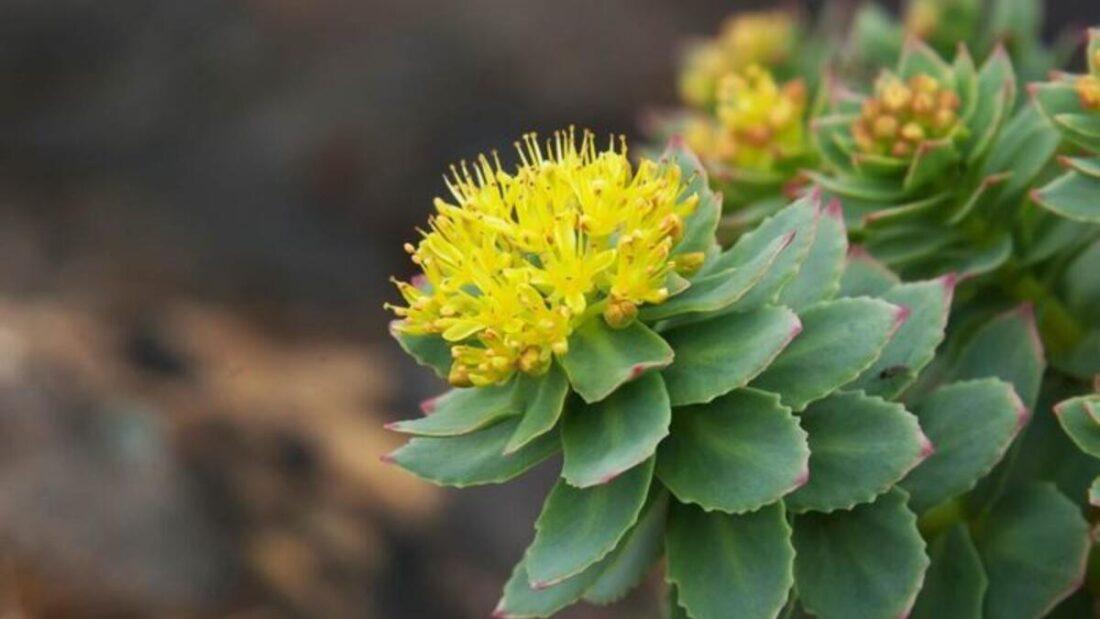 101 Çeşit Şifalı Bitki Ve Baharat Altın Kök (Rhodiola)