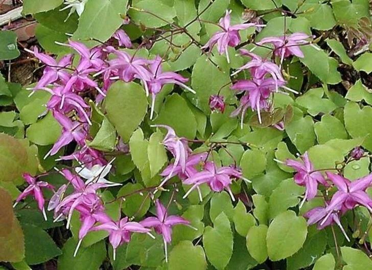 101 Çeşit Şifalı Bitki Ve Baharat Azgın Teke Otu (Epimedium)