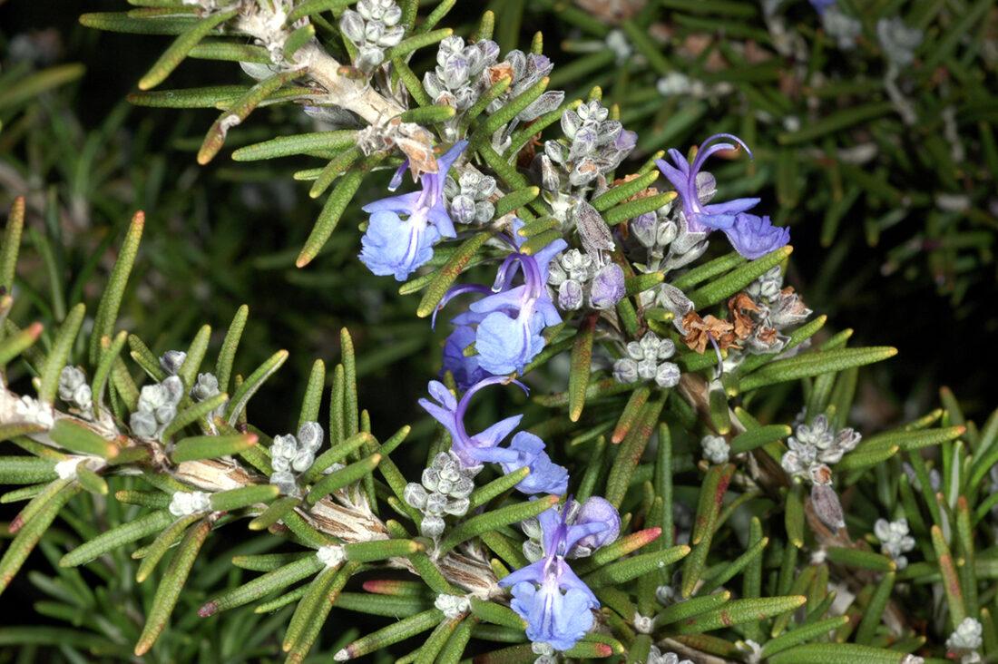101 Çeşit Şifalı Bitki Ve Baharat Biberiye (Salvia Rosmarinus)