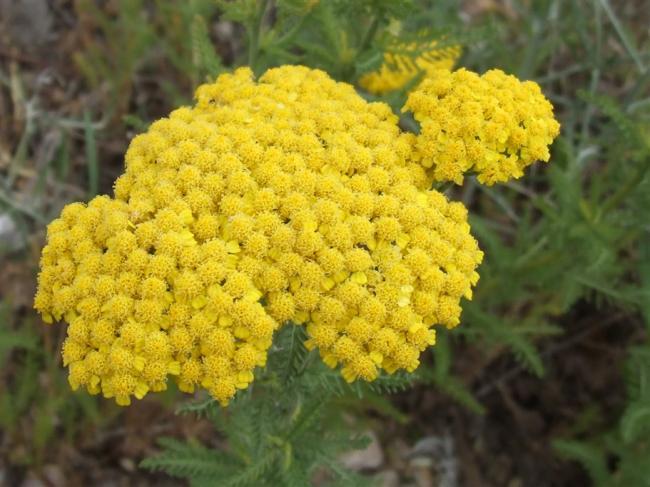 101 Çeşit Şifalı Bitki Ve Baharat Civanperçemi (Achillea Millefolium)