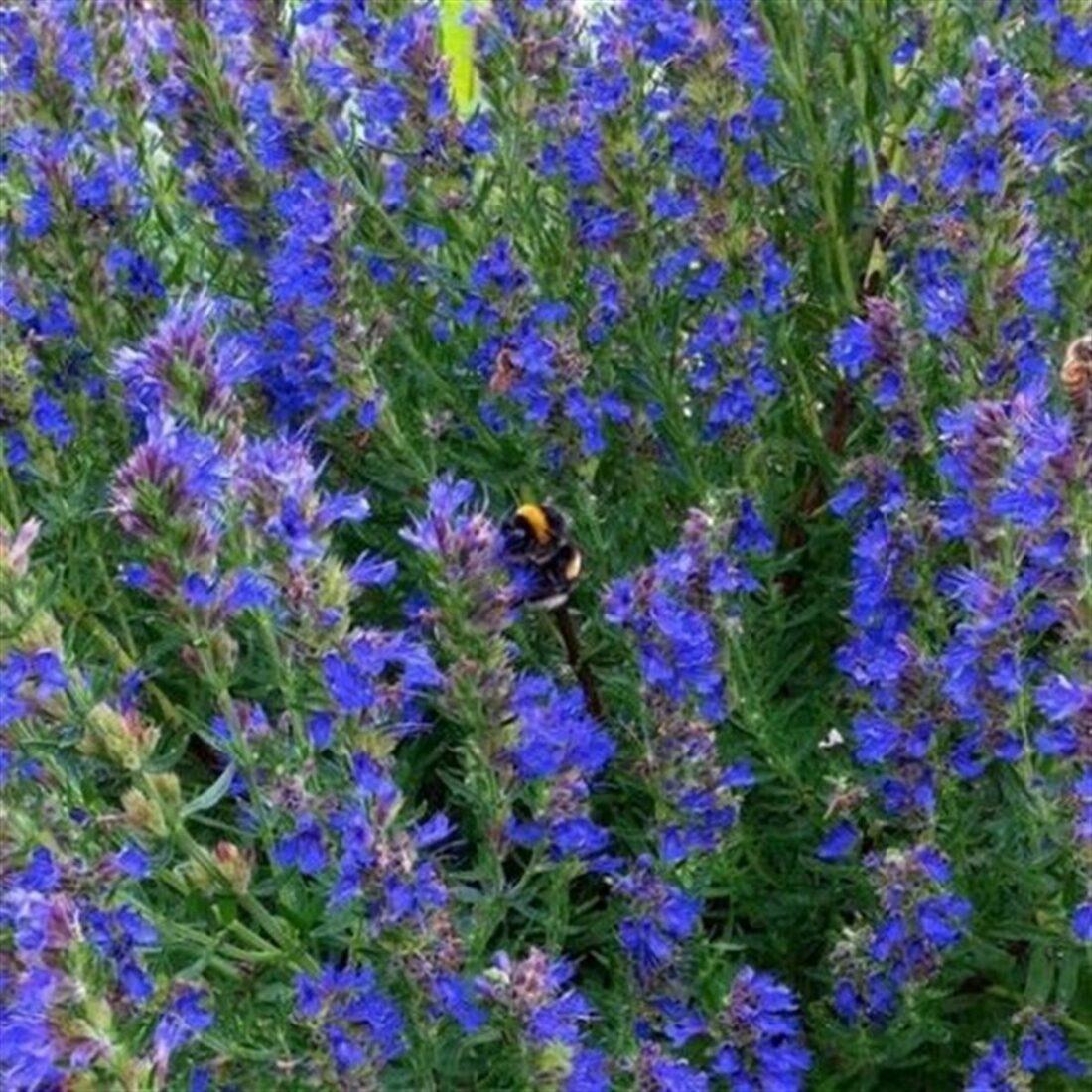 101 Çeşit Şifalı Bitki Ve Baharat Çördük (Hyssopus Officinalis)
