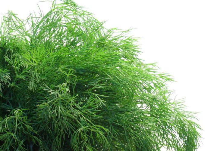 101 Çeşit Şifalı Bitki Ve Baharat Dere Otu (Anethum Graveolens)