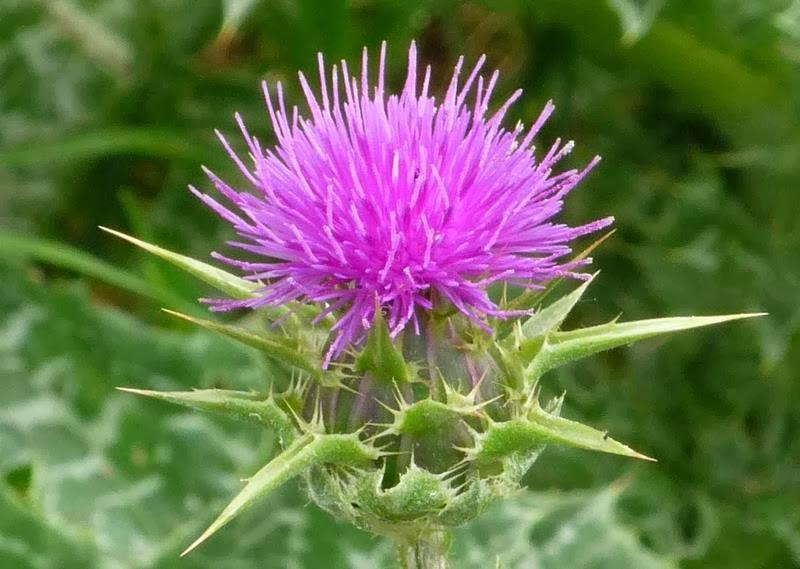101 Çeşit Şifalı Bitki Ve Baharat Devedikeni (Silybum Marianum)