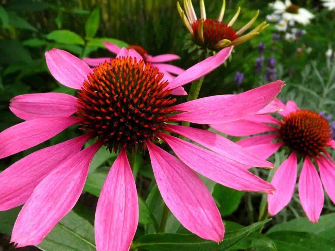 101 Çeşit Şifalı Bitki Ve Baharat Ekinezya (Echinacea)
