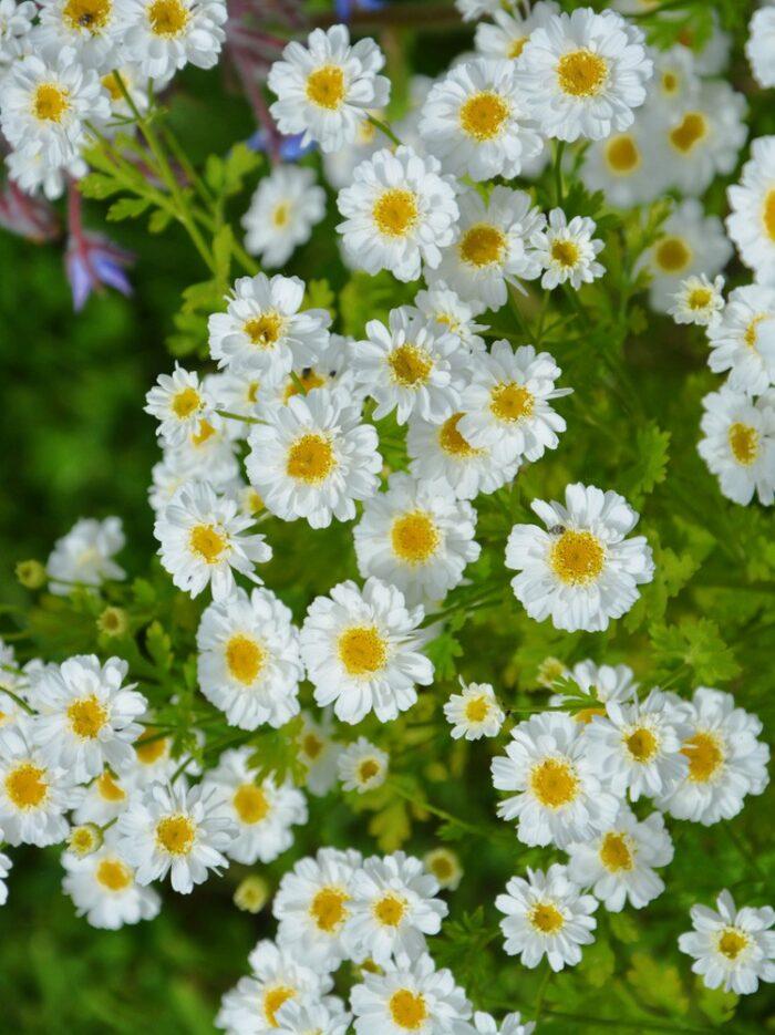 101 Çeşit Şifalı Bitki Ve Baharat Feverfew (Tanacetum Parthenium)