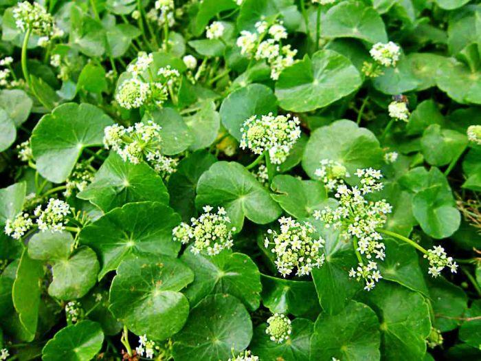 101 Çeşit Şifalı Bitki Ve Baharat Gotu Kola (Centella Asiatica)