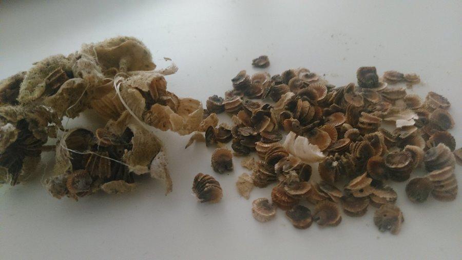 101 Çeşit Şifalı Bitki Ve Baharat Hatmi Kökü (Alcea)