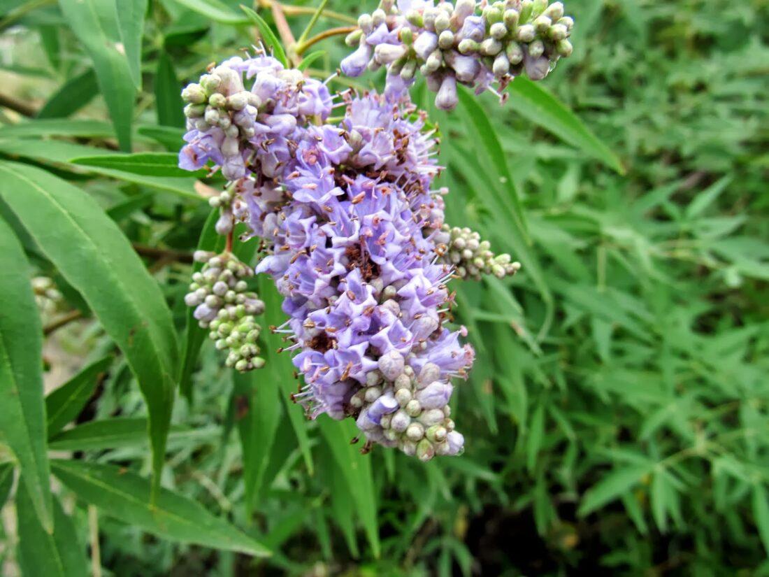 101 Çeşit Şifalı Bitki Ve Baharat Hayıt (Vitex Agnus-Castus)