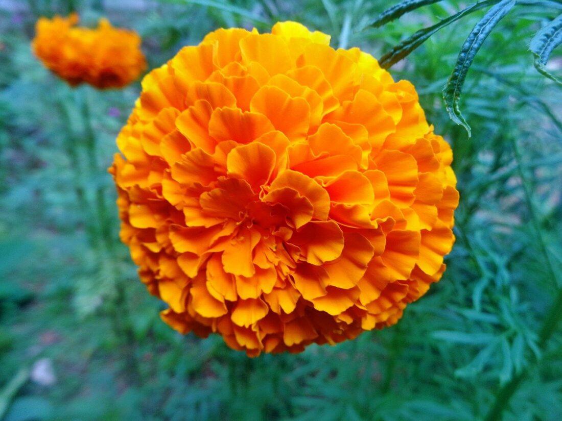 101 Çeşit Şifalı Bitki Ve Baharat Kadife Çiçeği (Marigolds)