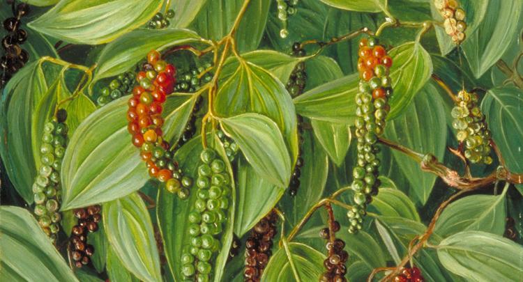 101 Çeşit Şifalı Bitki Ve Baharat Karabiber (Piper Nigrum)