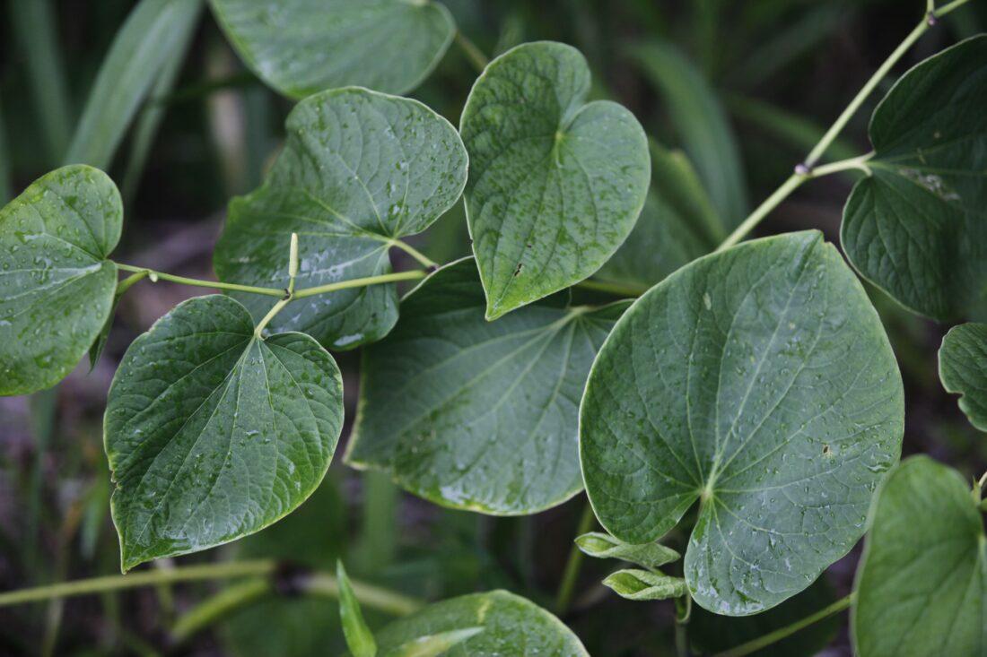 101 Çeşit Şifalı Bitki Ve Baharat Kava Kökü (Piper Methysticum)