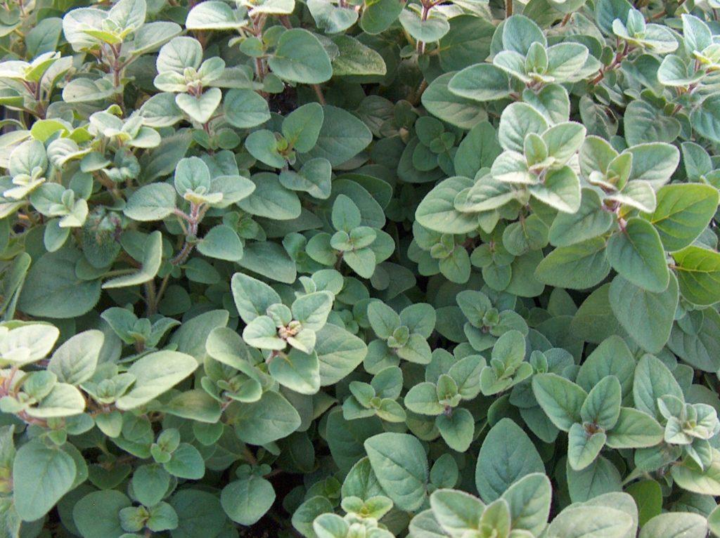 101 Çeşit Şifalı Bitki Ve Baharat Kekik (Oreganum Vulgare)