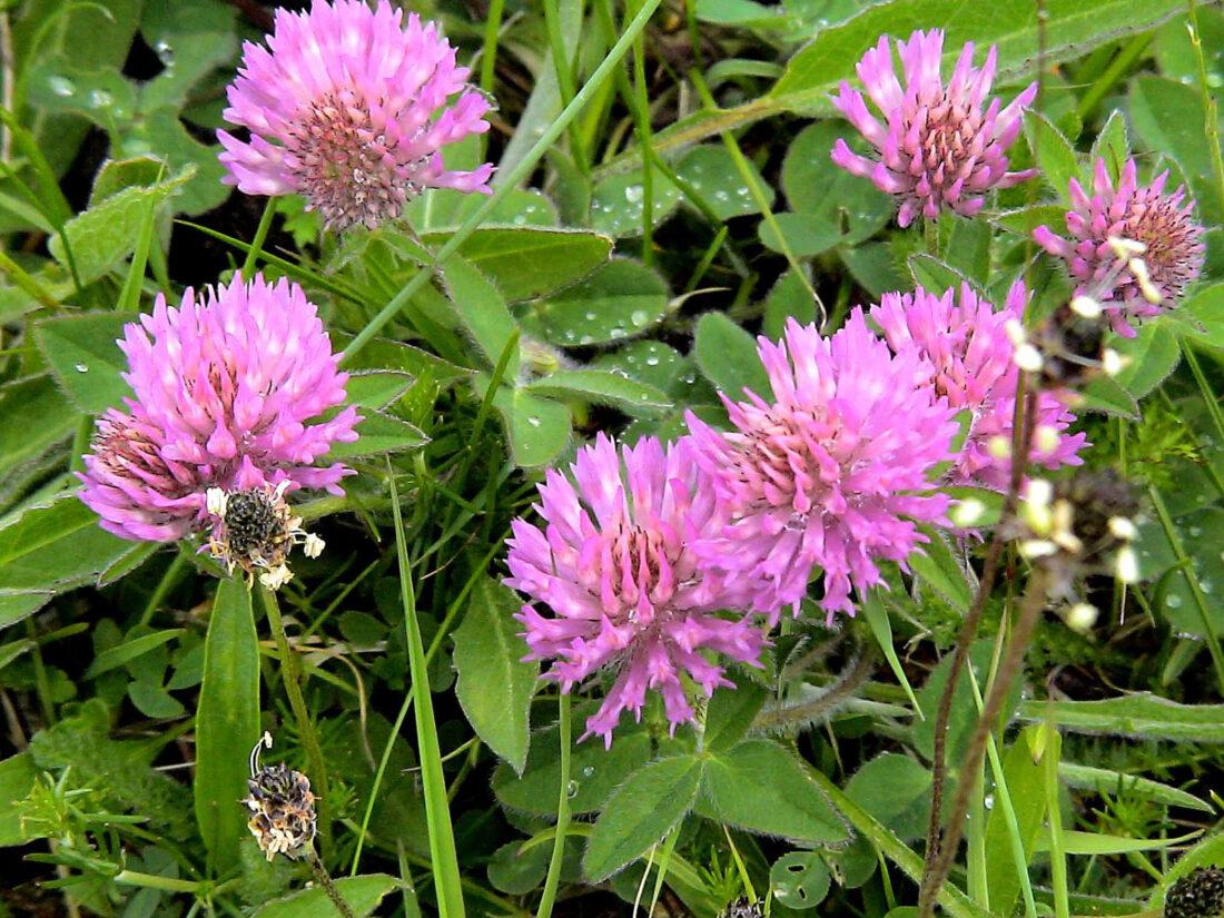 101 Çeşit Şifalı Bitki Ve Baharat Kırmızı Yonca (Trifolium Pratense)