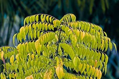 101 Çeşit Şifalı Bitki Ve Baharat Köri (Murraya Koenigii Spreng)
