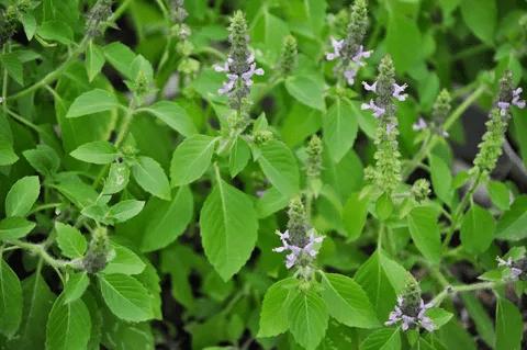 101 Çeşit Şifalı Bitki ve Baharat Kutsal fesleğen (Tulsi)