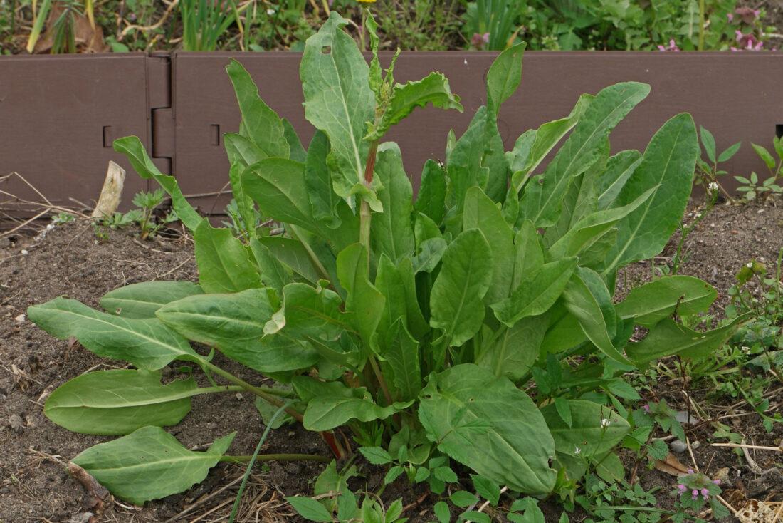 101 Çeşit Şifalı Bitki Ve Baharat Kuzukulağı (Rumex Acetosella)