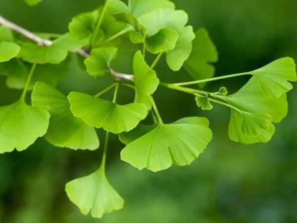 101 Çeşit Şifalı Bitki Ve Baharat Mabet Ağacı (Ginkgo Biloba)