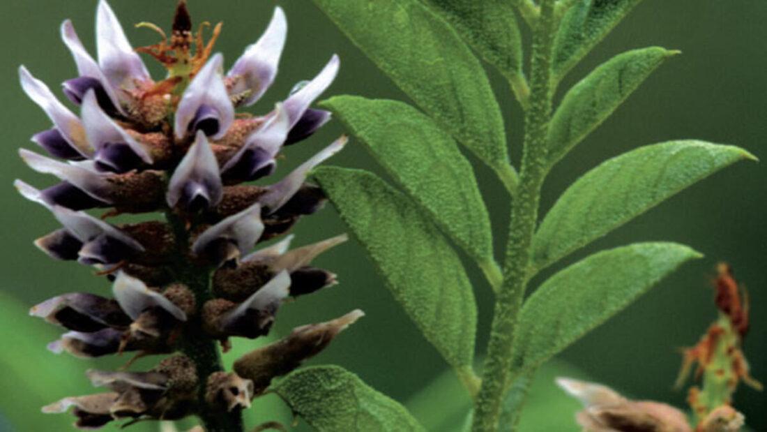 101 Çeşit Şifalı Bitki Ve Baharat Meyan Kökü (Glycyrrhiza Glabra)