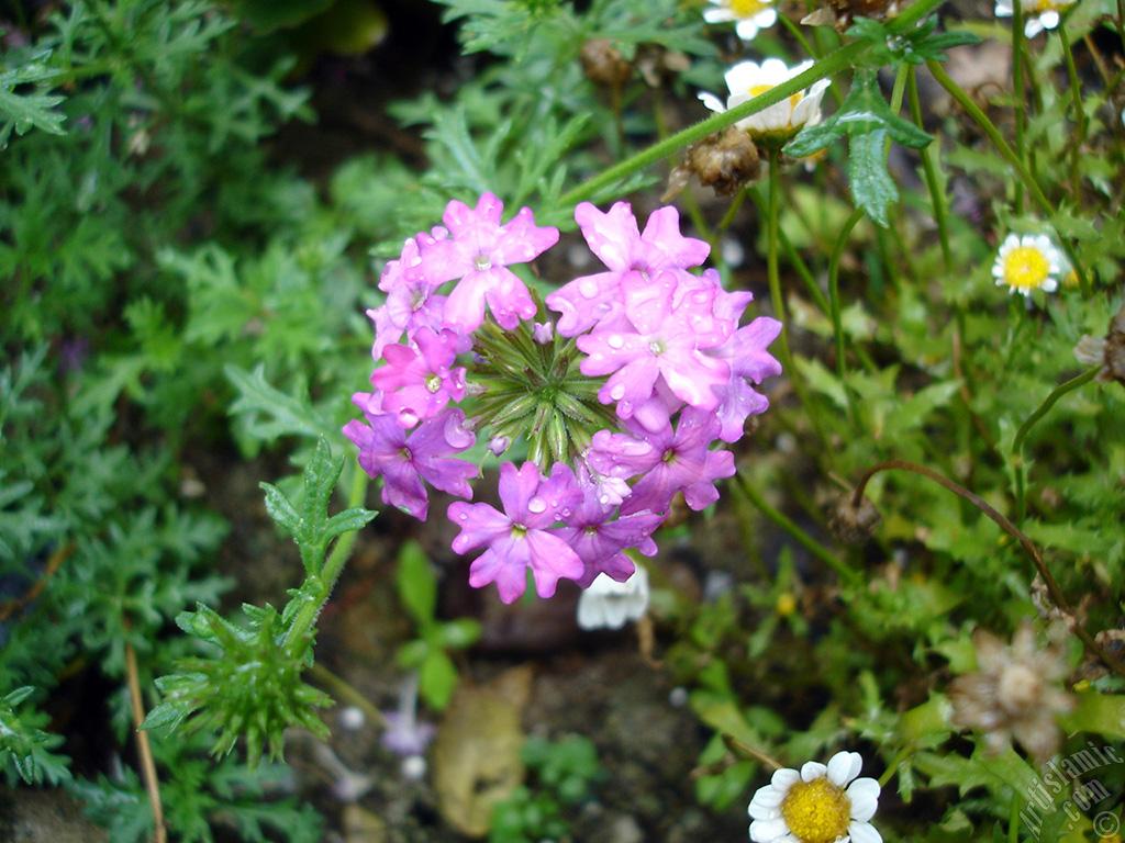 101 Çeşit Şifalı Bitki Ve Baharat Mine Çiçeği - Yer Minesi (Vervain)
