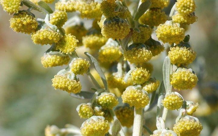 101 Çeşit Şifalı Bitki Ve Baharat Pelin Otu (Artemisia Absinthium)