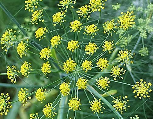 101 Çeşit Şifalı Bitki Ve Baharat Rezene (Foeniculum Vulgare)