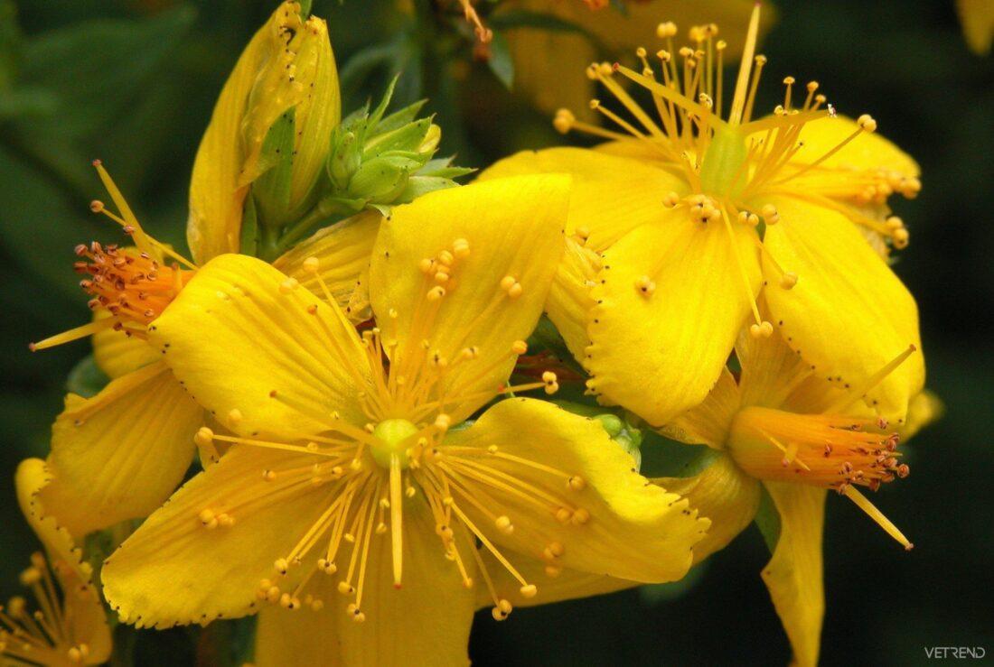 101 Çeşit Şifalı Bitki Ve Baharat Sarı Kantaron (Hypericum Perforatum)