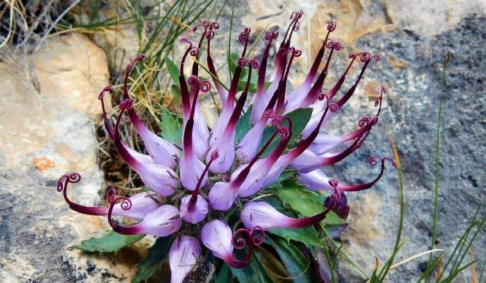 101 Çeşit Şifalı Bitki Ve Baharat Şeytan Pençesi (Harpagophytum)