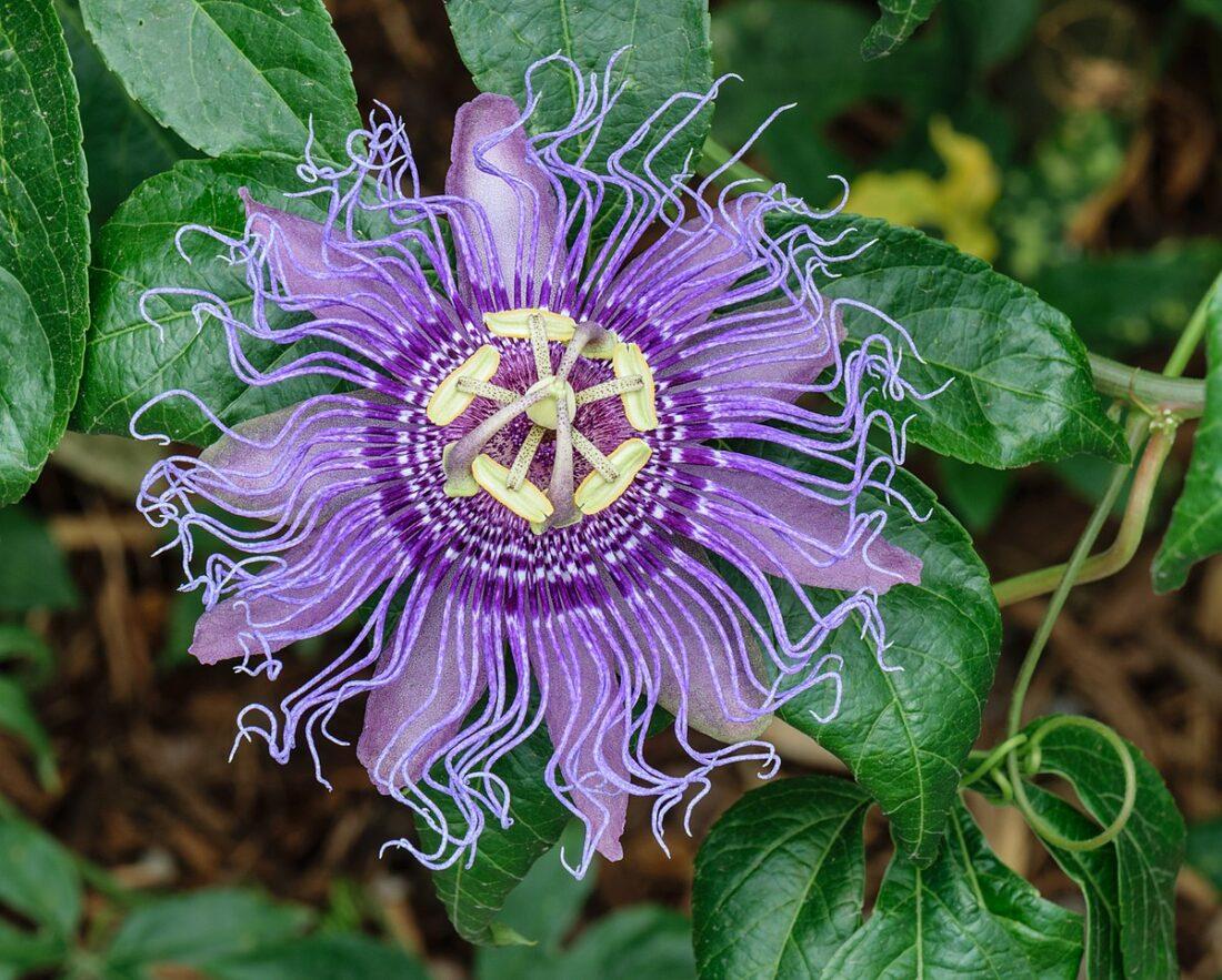 101 Çeşit Şifalı Bitki Ve Baharat Tutku Çiçeği (Passiflora)
