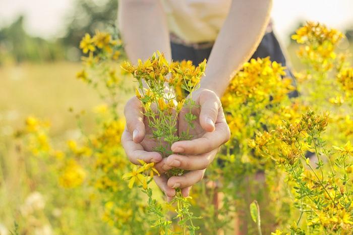 Sarı Kantaron Kullanım Alanları: Depresyon, Pms Ve Menopoz Belirtilerini Rahatlatmak
